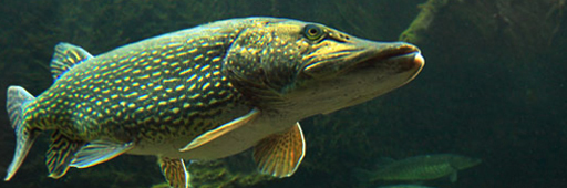 Roofvissen